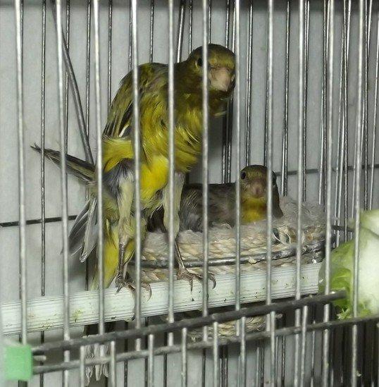 人工喂养的金丝雀雏鸟