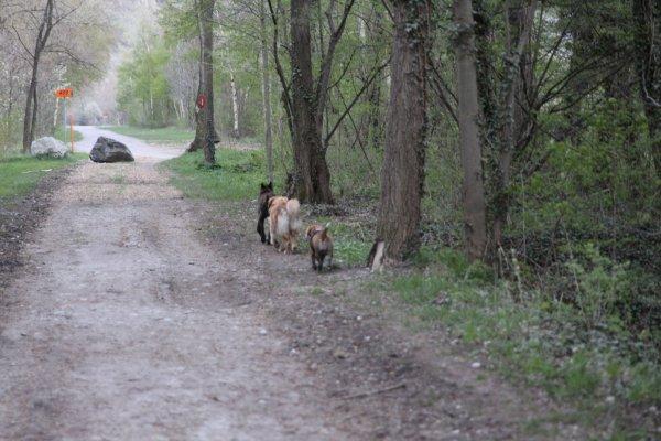 18.04.13 Promenade avec Geskaï et Tsar