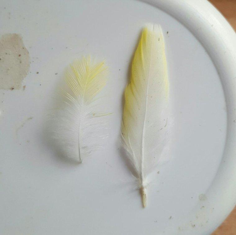 Défi : quelle race à quelle plume ?
