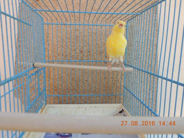 Jeunes 008 et 016 : jaune schimmel porteur de blanc