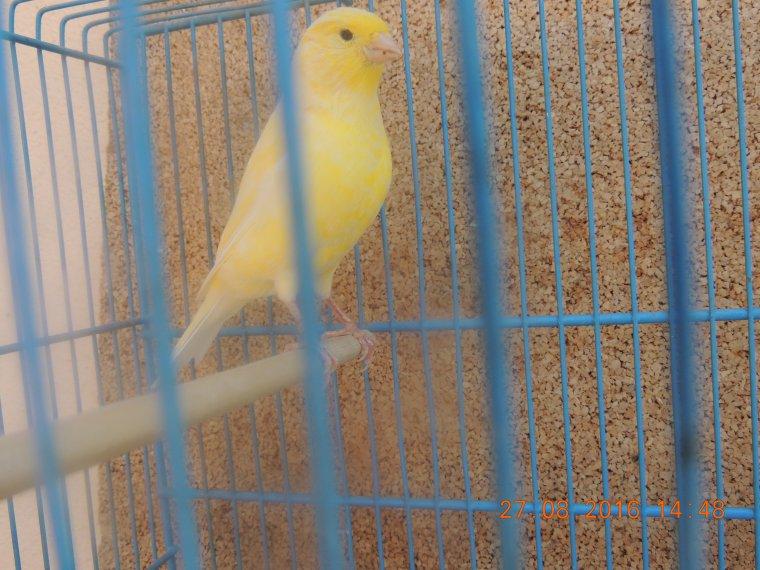 Jeunes 013 et 014 : jaune schimmel porteur de blanc