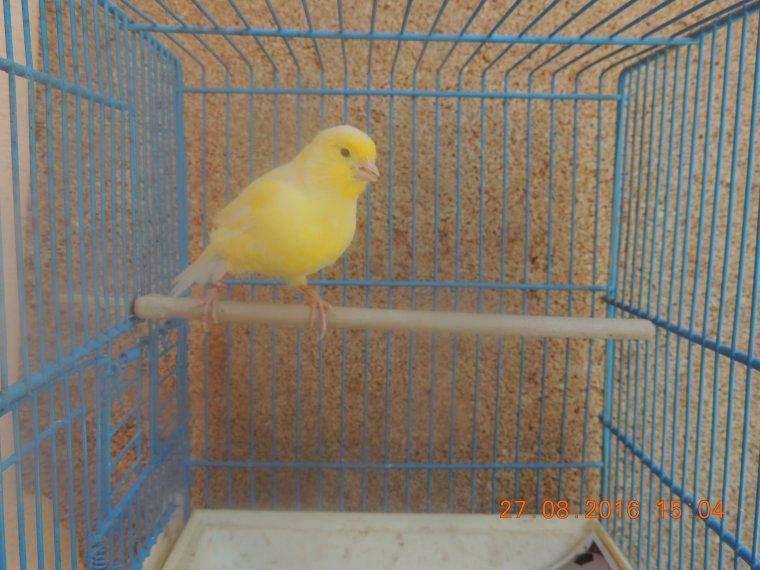 Jeunes 006 et 001 : jaune schimmel porteur de blanc