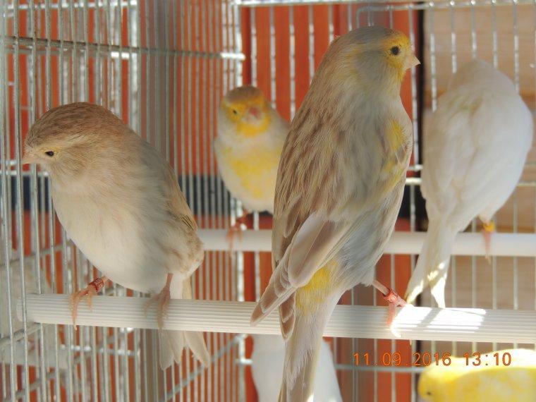 Les lipochrome jaune, blanc et les isabelle