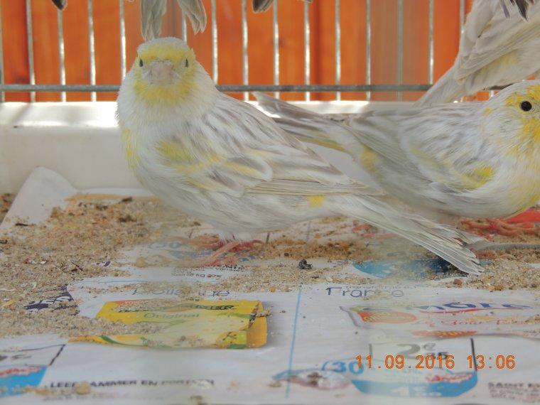 Les agate et agate opale mosaique jaune