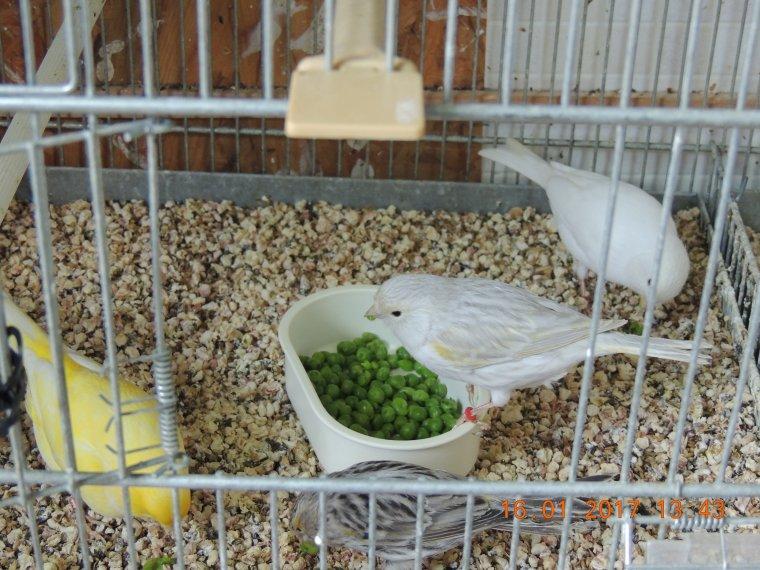 Mes femelles AGATE OPALE mosaique jaune (souche Jacques Debry)