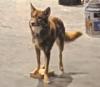 Shaskenwolf