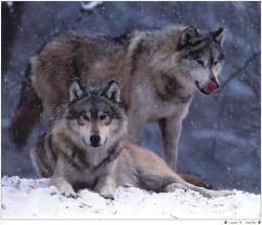 2 beau loup vous trouvez pas