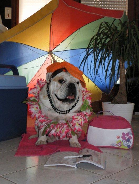 Ma petite vie de bulldog anglais