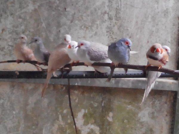 colombesdiamantguadeloupe