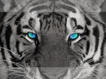 l'oille du tigre