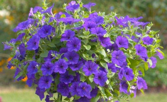 """Floral.. floraisons..Eté  - Ce que nous appécions beaucoup et aimons.. voir :  corbeilles et paniers suspendus : de jolies cascades fleuries  """"POUR le plaisir des yeux"""""""