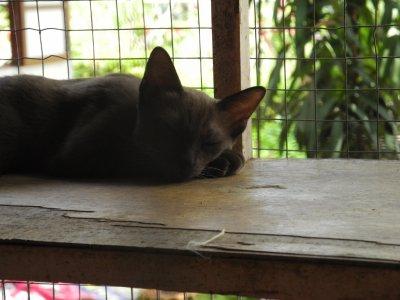 Les chats en Thaïlande