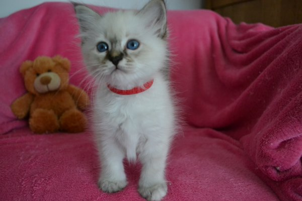 Mlle Collier Rouge  Seal tabby