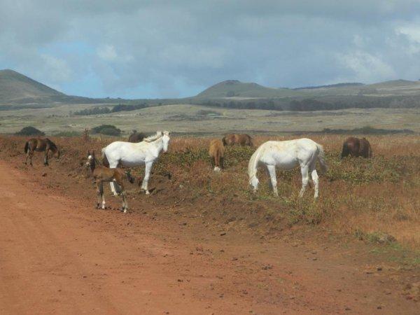 Les chevaux de Rapa Nui (3/3) - 12/2013