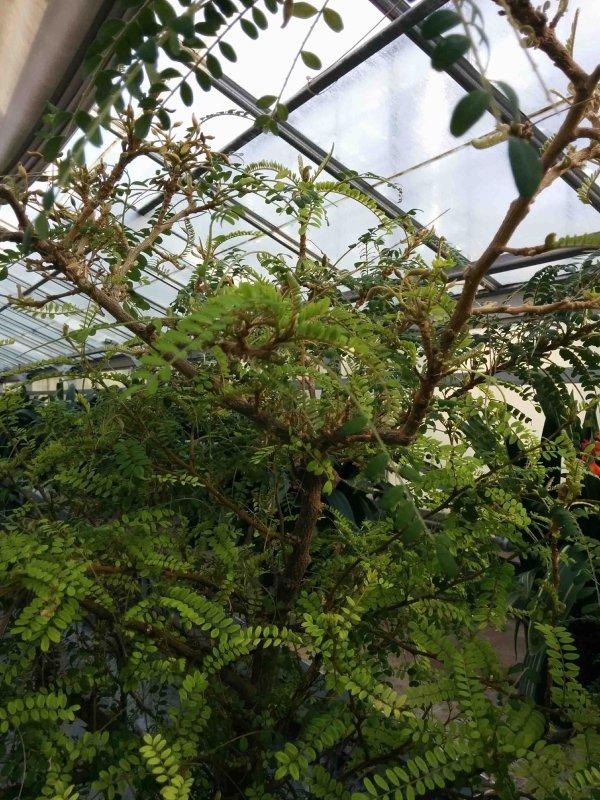 Le sophora toromiro des réserves du jardin botanique de Montréal est en fleurs ! (24/02/2016) - 1