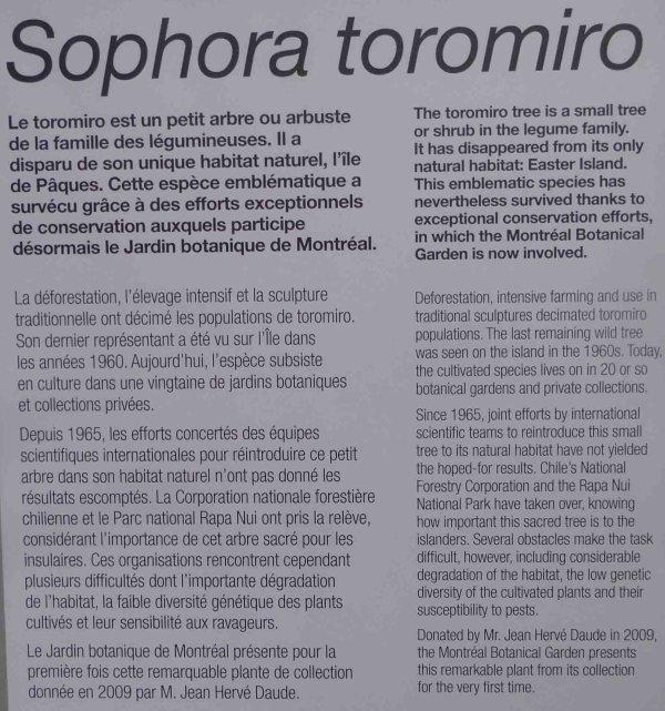 Le Sophora toromiro du jardin botanique de Montréal (24/02/2017)