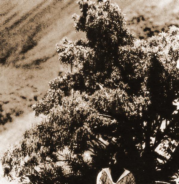 Photos d'un toromiro prises en 1934 par Alfred Métraux au Rano Kau
