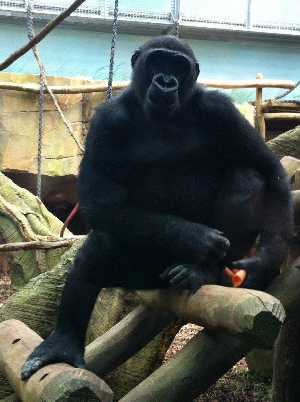 Le Zoo d'Amnéville : Gorille