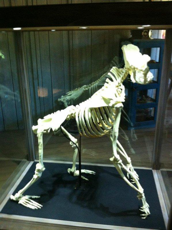 Le Zoo d'Amnéville : Gorille (squelette)