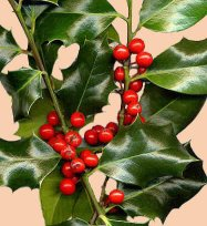 Noël : Le houx