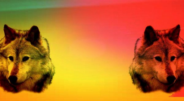 Loup : Fond de blog