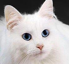 Chat : De 60 à 80 % des chats