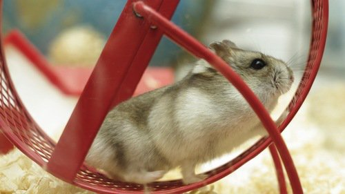 Hamster :