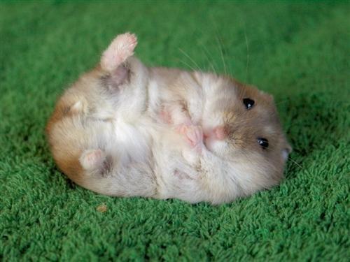 Hamster : Dans la culture populaire