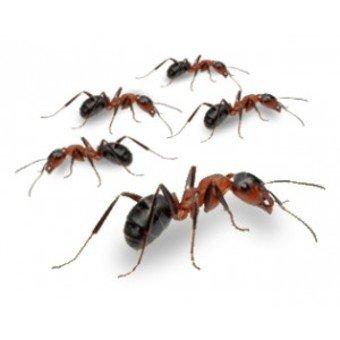La civilisation des fourmis ...