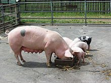 Cochon : Porc