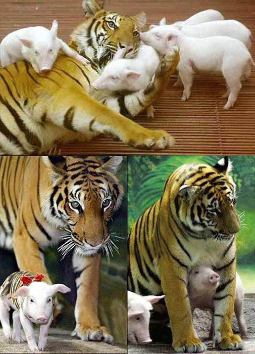 Cochon tigre