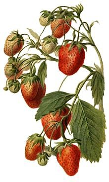 Fraise : Production