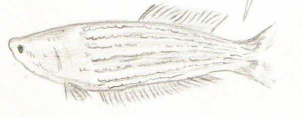Poisson : Pourquoi les poissons morts flottent-ils ?