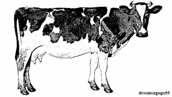 Vache : Élevage