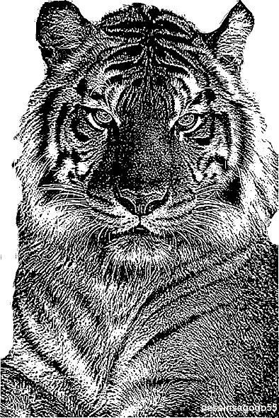 Tigre : dessinsagogo55