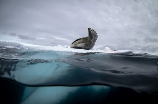 Justin Hofman : photographies sublimes de la vie en Antarctique