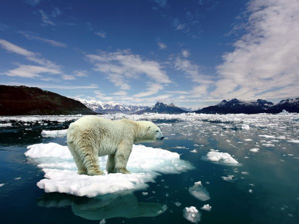 Animaux qui nous prouvent que la planète va mal : L'Ours Blanc