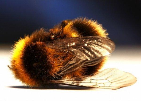 Animaux qui nous prouvent que la planète va mal : L'abeille