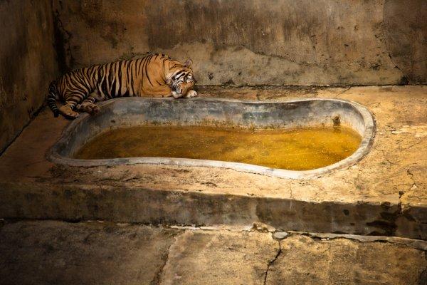 Gaston Lacombe a capturé la vie d'animaux de zoo du monde entier