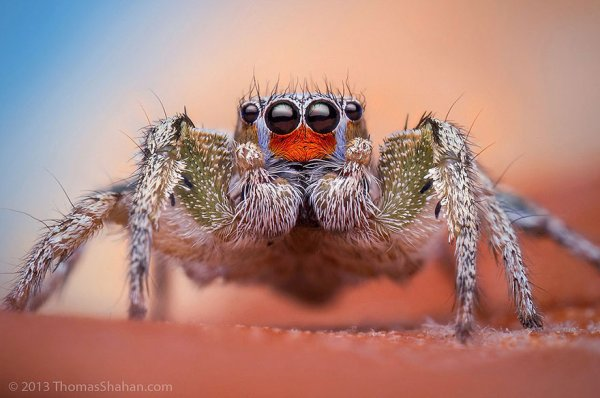 Thomas Chahan : Macrophotographies d'araignées sauteuses