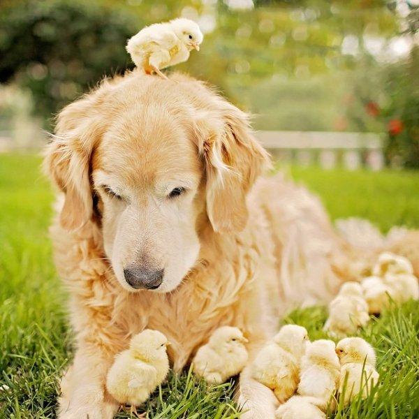 Champ le golden retriever, le chien le plus doux du monde