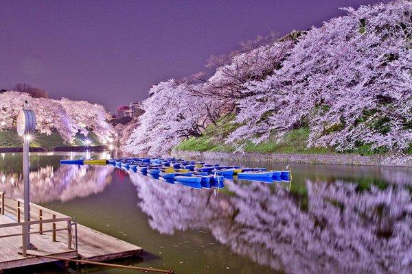 les plus beaux cerisiers en fleurs du Japon 2014