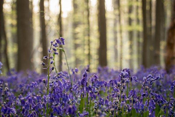 La Forêt Bleue En Belgique