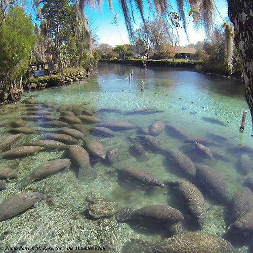 Les lamantins au Refuge National Wildlife Park Crystal River (Floride)