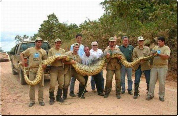 L'anaconda geant qui mesure 12 mètres de long