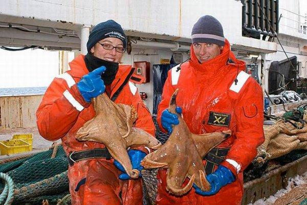 l'étoile de mer Macroptychaster (60cm)