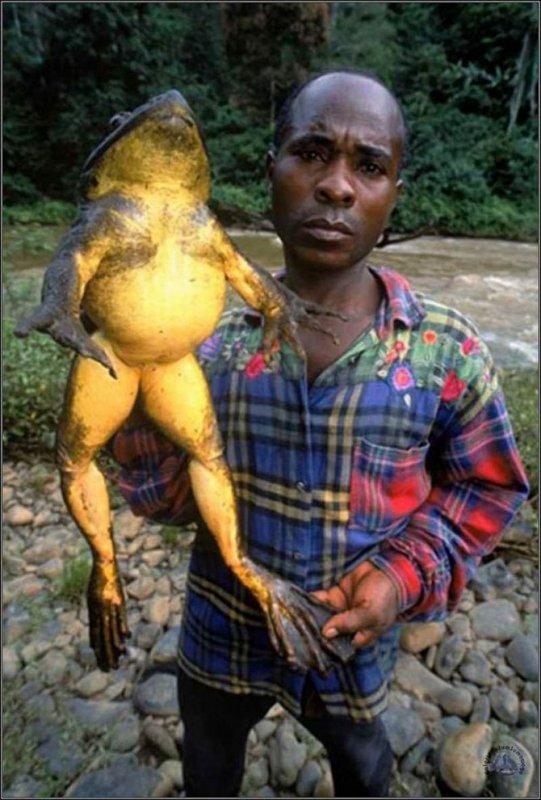une grenouille de plus de 3 kilos