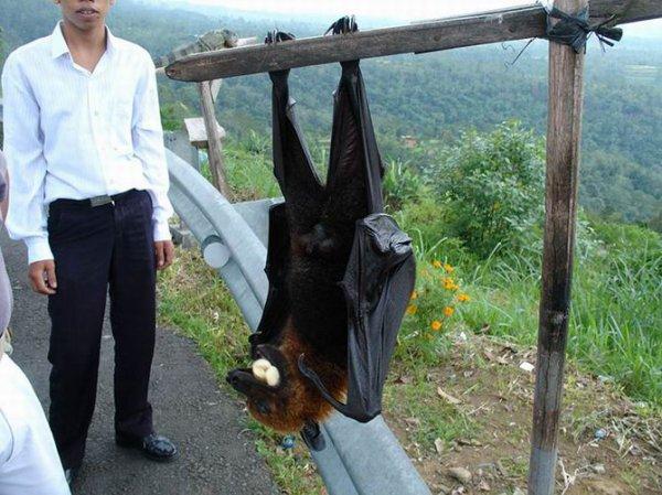 La rousette de Malaisie qui peut atteindre 1,70 mètre d'envergure