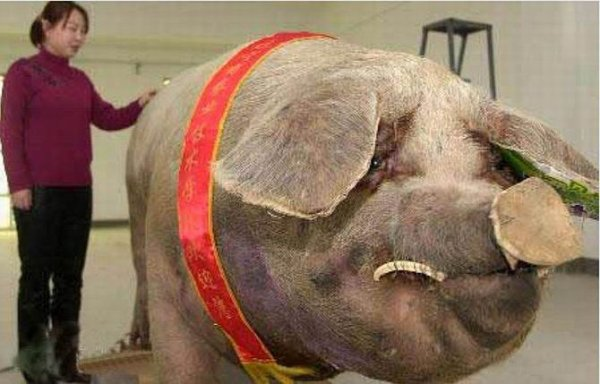 Un cochon chinois de 900kg