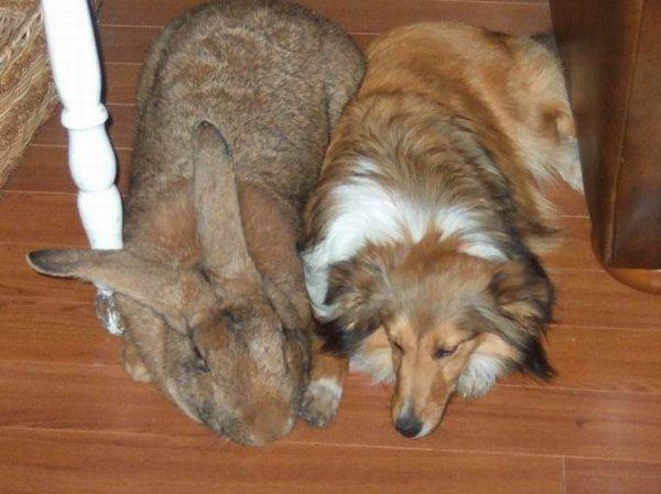 Un lapin des flandres plus gros qu'un chien